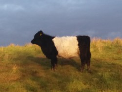 Belted Galloway Heifers,Cows & Calves & Young Bulls for Sale