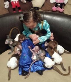 Hand-Tamed, Friendly,Beautiful  Diaper Trained Baby Capuchin Monkeys