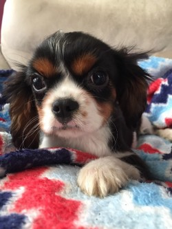 IKC Cavalier King Charles male pup