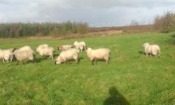 ewe lambs for sale