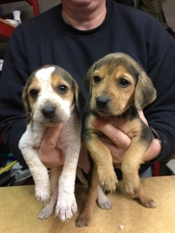 Kerry Beagle pups