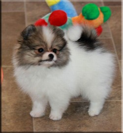 Female Teacup Pomeranian For Sale