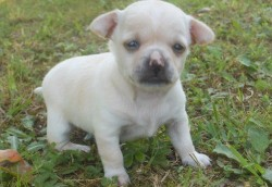 Tiny Chihuahua Longcoat Female Puppy