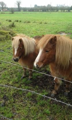 Two Shetland pony's