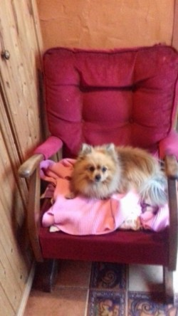 5 year old male pom for sale