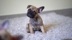 French Bulldog Puppies Excellent Quality and Structure