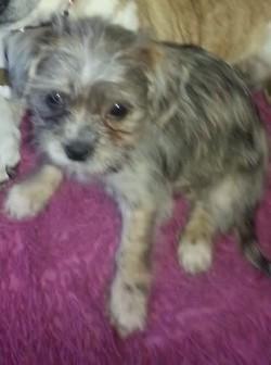 ShiChi puppy