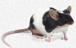 Fancy pet mice