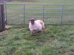 Foster ewe