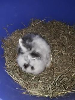 Pure bread Lion head rabbit