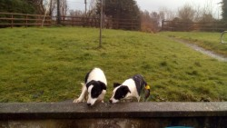 2 female dogs for sale