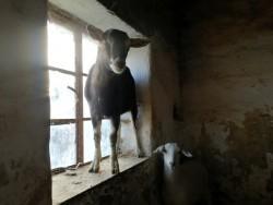 2 female goats