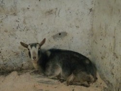 Female goat in kid