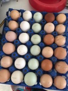 Parrots and 98 % Fertile parrot eggs