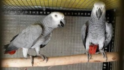 Breeding pair of African Grey parrots for sale