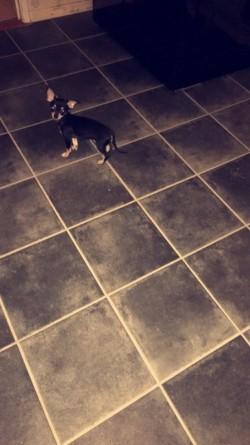 Female Chihuahua 11 Weeks Old