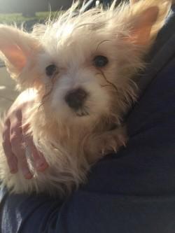 Maltese chihuahua mix pup