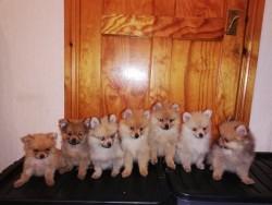 Miniature Pomeranian pups.