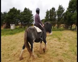 15,2hh heavy mare