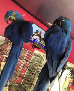 Tame Hyacinth Macaws Hand Reared