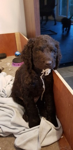 Irish Water Spaniel puppies for sale