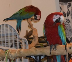 cocks and hens Green wing macaws available