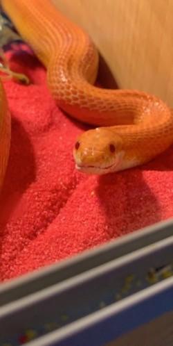 Corn snake forsale