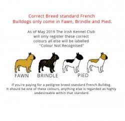 Breed standard French Bulldogs.