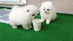 Pomerania Puppies