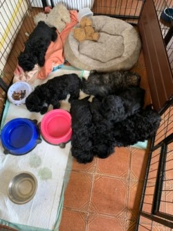 Black Shih tzu puppies