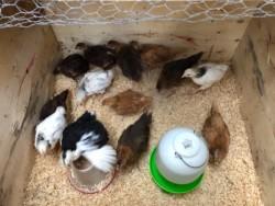 9 week old chicks