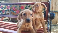 Hungarian Vizslador Pups