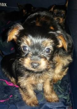 Stunning Yorkshire Terrier Puppies