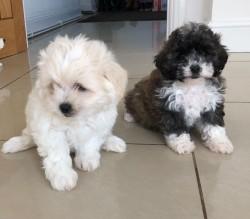 Gorgeous Shih Tzu Puppies