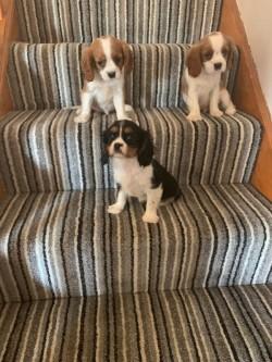 Cute King Charles puppies