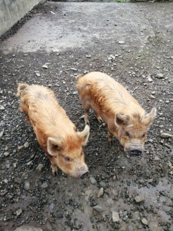 Two pot belly pigs