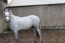 Connamara Filly,,FERMOYLE ELLA.