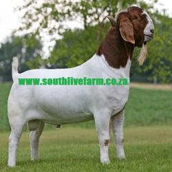 Boer Goats and Kalahari Red Goats