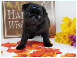 Stunning Litter Of Pug Puppies Ready Now
