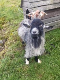 Vietnamese miniature goat