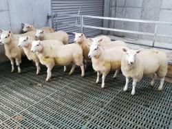 10 x Lleyn Ewe Lamb's