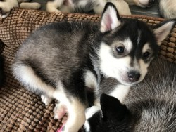 Stunning Black Girl With White Paw Pomsky For Sale