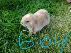 Pure Breed Mini Lop Rabbits.