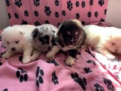 Beautiful Pomsky Puppies