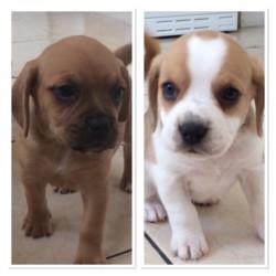 Gorgeous Beagle Pups