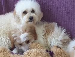 Beautiful Cavapoochon Puppies