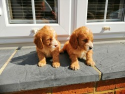 Gorgeous Cockapoos Puppies