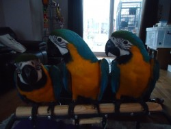 Hand Tame Macaw Parrots With Rings