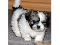 Lovely lhasa apso for sale