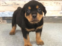 sweet CHUNKY ROTTWEILER PUPS